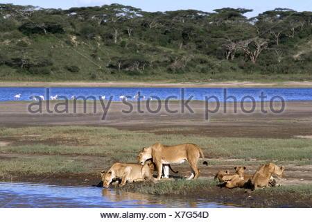 zoology / animals, mammal / mammalian, Lionesses with cubs drinking Panthera leo Lake Ndutu Ngorongoro Tanzania - Stock Photo
