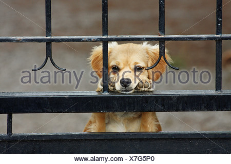 half breed dog behind fence - Stock Photo