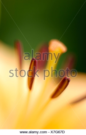 Lilie (Lilium), close up - Stock Photo
