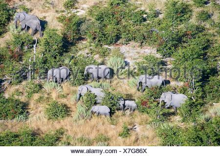 Aerial view of herd of African elephants (Loxodonta africana) walking on dry land, Okavango delta, Botswana, Africa. - Stock Photo