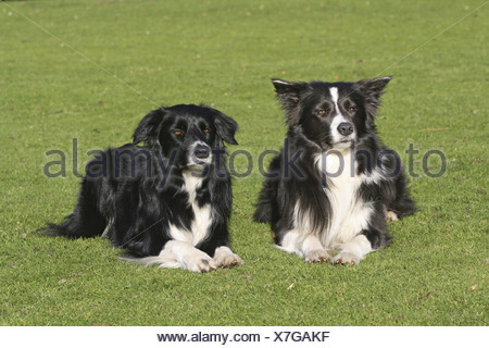 Border Collie (Canis lupus f. familiaris), two dogs lying on meadow - Stock Photo