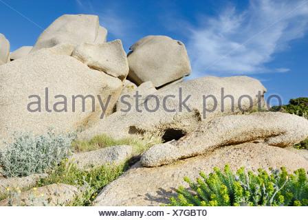 Mediterranean vegetation, Sea spurge (Euphorbia paralias) growing in the crevices of eroded granite boulders, Capo Testa - Stock Photo