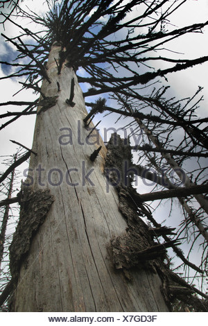 Norway spruce (Picea abies), dead tree, Germany, Baden-Wuerttemberg, Black Forest - Stock Photo