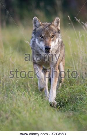 running European wolf - Stock Photo