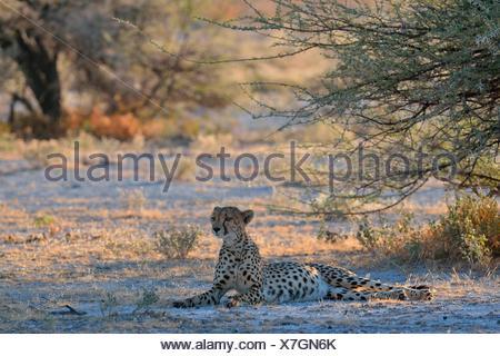 Cheetah (Acinonyx jubatus), female, lying in the shade of a tree, attentive, Etosha National Park, Namibia - Stock Photo