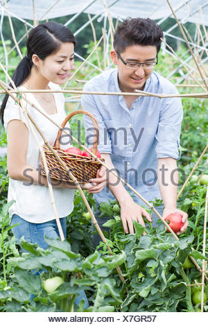Young couple picking tomatoes in greenhouse - Stock Photo