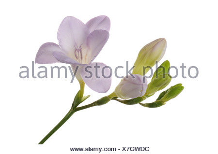 Freesia (Freesia) with buds, violet - Stock Photo