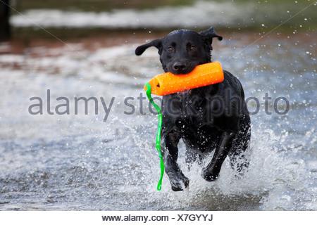 Black Labrador Retiever splashing through water with a retrieving toy, Alaska, Summer - Stock Photo