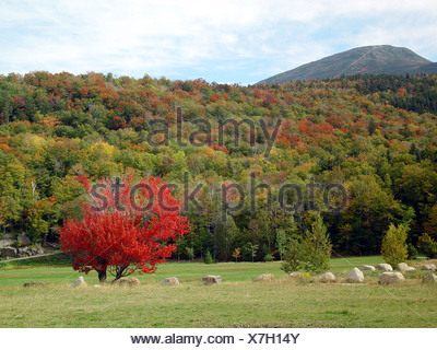 Red maple tree Mount Washington State Park New Hampshire USA - Stock Photo