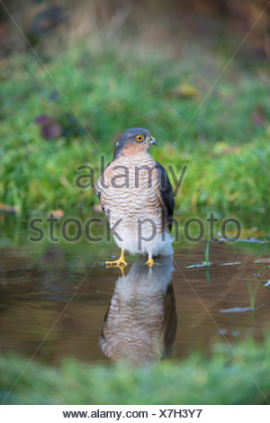 United Kingdom, Norfolk, Sparrowhawk (Accipiter nisus) bathing in icy water - Stock Photo