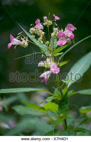 Himalayan balsam, Indian balsam, red jewelweed, ornamental jewelweed, policeman's helmet (Impatiens glandulifera), blooming, Germany Stock Photo