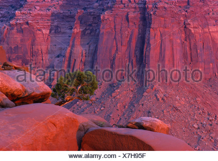 Juniper tree growing in front of glowing rock formations, Canyonlands National Park, Utah, USA - Stock Photo