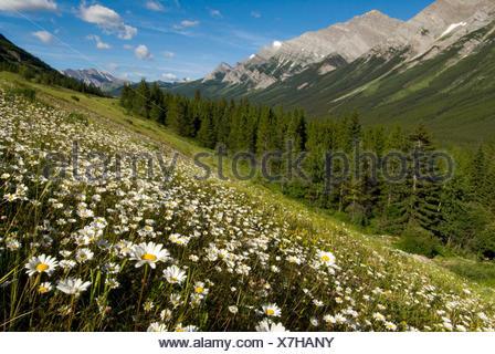 Oxeye daisies, Leucanthemum vulgare, grow in the Kananaskis Range in Peter Lougheed Provincial Park. - Stock Photo