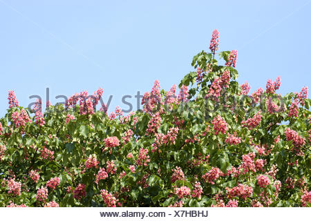 Red blooming buckeye tree (aesculus x camea) - Stock Photo