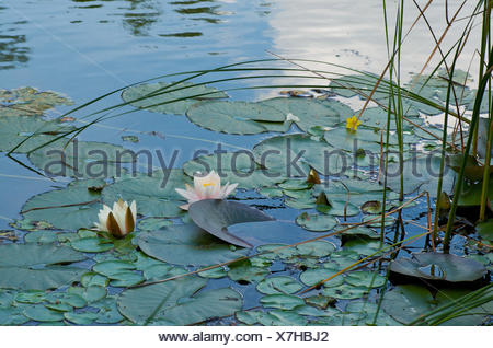 Water lily, white, pond, water lily leaves, - Stock Photo