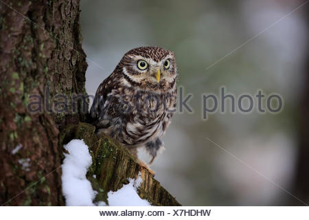 Little owl (Athene noctua), adult watchful on lookout in the snow, in winter, Zdarske Vrchy, Bohemian-Moravian Highlands - Stock Photo