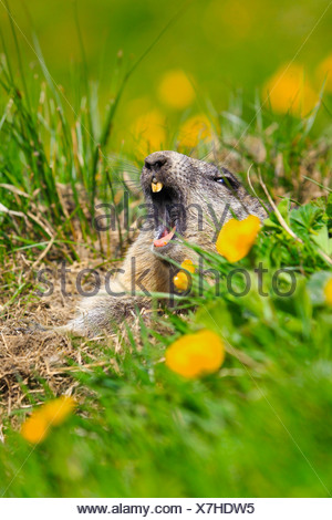 alpine marmot (Marmota marmota), juvenile yawning while looking out of the den  in a mountain meadow with buttercups, Austria, Hohe Tauern National Park - Stock Photo