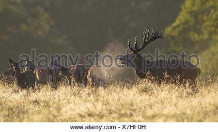 Red deer (Cervus elaphus), stag with herd, visible breath, backlit, Zealand, Denmark - Stock Photo