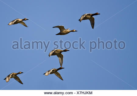 Flock of Redheads Flying in a Blue Sky - Stock Photo