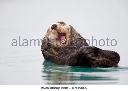 Sea otter floating on back scratching head and yawning, Prince William Sound, Southcentral Alaska, Winter Stock Photo