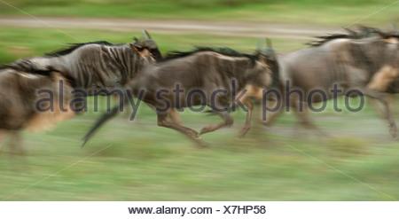 Running herd of Blue Wildebeest (Connochaetes taurinus), Serengeti, Tanzania - Stock Photo