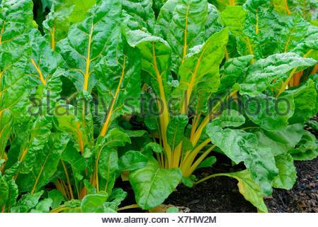 circa 100 semi colorato BETA vulgaris 40237 Bietole /'Bright Lights/'