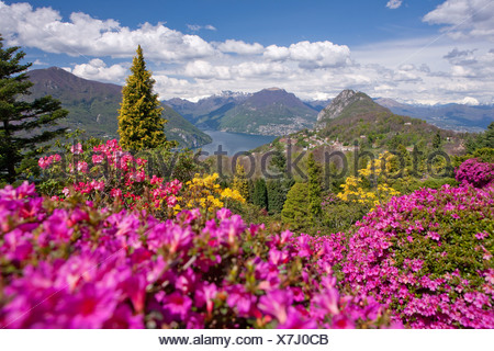 blossom, rhododendron, Parco San Grato, Carona, canton, TI, Ticino, South Switzerland, flower, flowers, park, Switzerland, Europ - Stock Photo