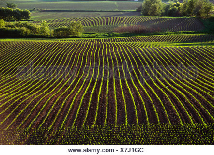 Agriculture - Rolling fields of early growth grain corn in early morning light / near La Fox, Illinois, USA. - Stock Photo