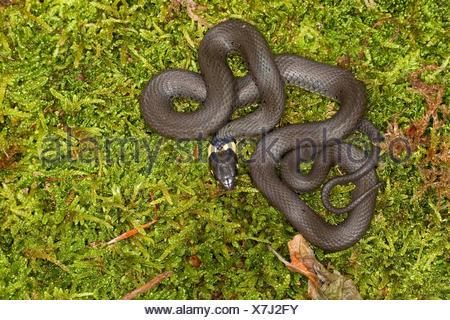 grass snake (Natrix natrix), lying on moss, Germany - Stock Photo
