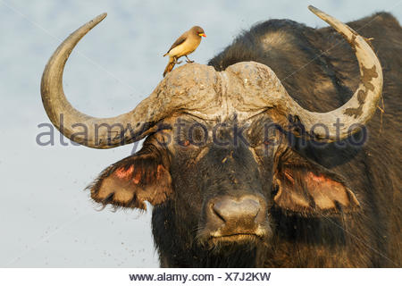 Cape Buffalo (Syncerus caffer caffer), bull with Yellow-billed Oxpecker (Buphagus africanus), the oxpeckers are associated with - Stock Photo