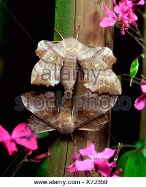 Poplar Hawkmoth - Stock Photo