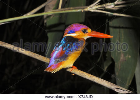 Oriental dwarf kingfisher , Ceyx erithaca , Alcedinidae, Thenmala, Kerala. India - Stock Photo