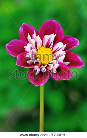 Collerette Dahlia (Dahlia sp.), variety Blütenmeer, pink, blossom, Germany - Stock Photo