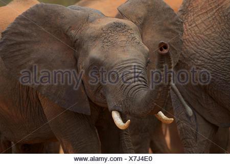 An orphan calf in the Ithumba elephant stockade. - Stock Photo