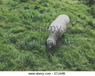 Overhead view of a sheep in a field - Stock Photo