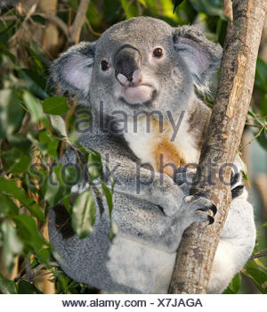 Koala, Phascolarctos cinereus, little men, sit, branch, - Stock Photo