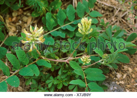 A Milk-vetch, wild liquorice (Astragalus glycyphyllos), blooming, Germany - Stock Photo