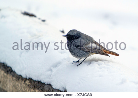 black redstart (Phoenicurus ochruros), male sitting in the snow, Germany, Bavaria - Stock Photo
