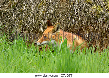 Red fox (Vulpes vulpes) sitting in grass, Canton of Zurich, Switzerland - Stock Photo