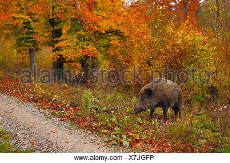 wild boar, pig, wild boar (Sus scrofa), wild sow standing at a forest path in autumn, Germany, Baden-Wuerttemberg - Stock Photo