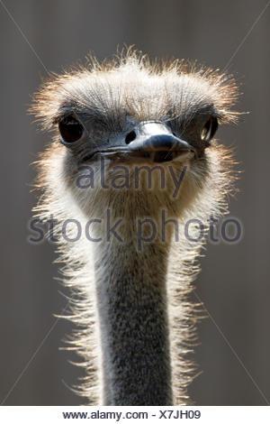Ostrich (Struthio camelus), portrait, captive, Germany - Stock Photo