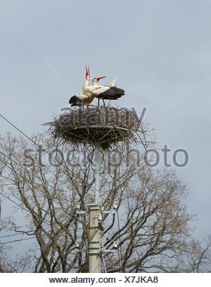 Two stork chicks in nest, Butvydonys, Lithuania - Stock Photo