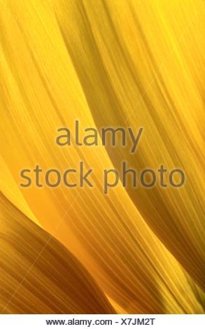 common sunflower (Helianthus annuus), three sun flower petals with light shining through - Stock Photo