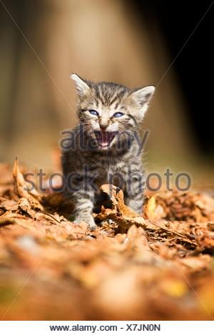 domestic cat, house cat (Felis silvestris f. catus), brown striped, three weeks old kitten walking miaowing, Germany - Stock Photo