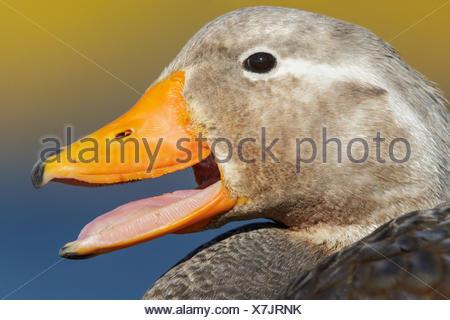 Falkland (Flightless) Steamer-Duck (Tachyeres brachypterus) in the Falkland Islands. - Stock Photo