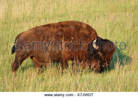 Bison, Bos bison, American Bison, Buffalo, grassland, Badlands, National Park, Great Plains, South Dakota, USA, United States, A - Stock Photo