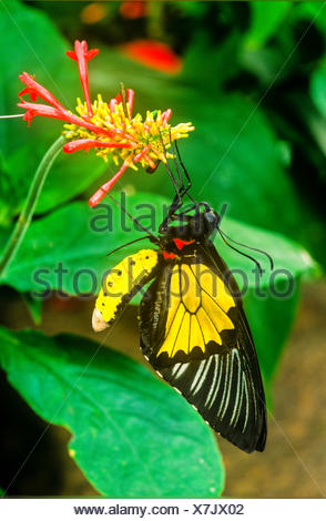 Common Birdwing Butterfly, (Troides helena), male. Ventral view, Australasia / Indomalaya ecozone (Australia). - Stock Photo