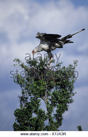 Secretary Bird Sagittarius serpentarius At nest Kenya - Stock Photo