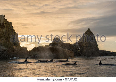 A pod of transient killer whales, Orcinus orca, surround the second largest haulout of Steller Sea Lions in the Northeast Pacific. - Stock Photo