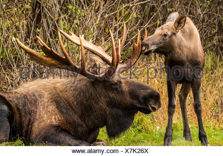 A young calf moose (alces alces) smiffing and bumping a large bull moose's antlers while the bull rests during the autumn rut, South-central Alaska - Stock Photo